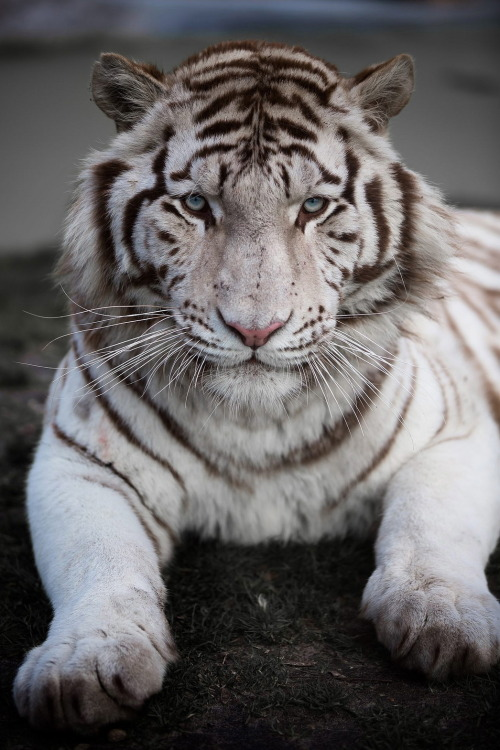 White Tiger by Adrien Sifre