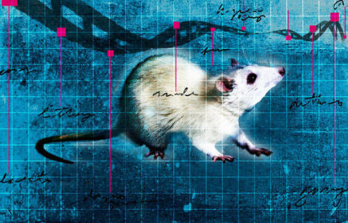 The little mutation that could: Studies conducted on mice may have revealed just why an incremental mutation in the so-called EDAR gene eventually spread across the globe.  The small change, substituting one chemical letter of DNA for another, may have helped humans in Asia survive crippling heat and humidity by endowing them with extra sweat glands.  Harvard scientists said that their findings aren't just limited to sweat glands, and that further research may provide insight as to how genetics impacted bone density, immune systems and beyond. Read more about the wide-ranging study here. Photo: Stephen Sedam / Los Angeles Times