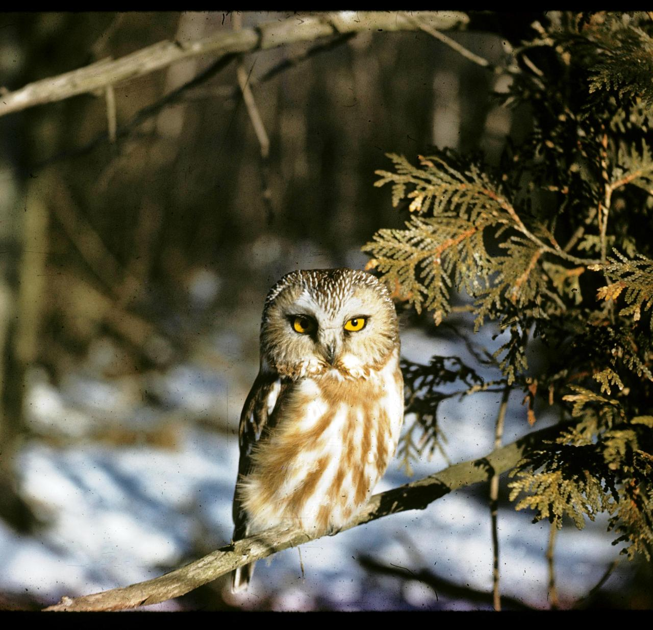 Saw whet owl by V. Crich