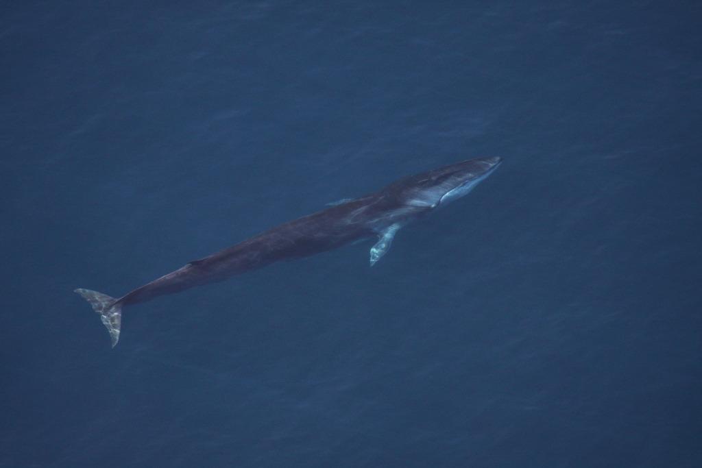 2013 Fin Whale Sighting IMG_0026 (by Georgia Wildlife Resources Division)