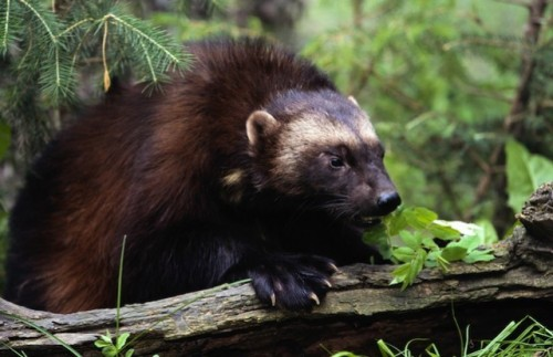 rhamphotheca:  Waiting for Protection:  Wolverine   This wolverine (Gulo gulo) is nothing like you've imagined from the movies. A member of the weasel family, it looks like a small bear, with dark, thick fur and often a silver facial mask. Found in areas such as Alaska, Washington, and Montana, the wolverine is unfortunately losing its habitat due to global warming, according to WildEarth Guardians. Trapping has reduced the species' numbers further, and only about 250-300 wolverines are estimated to be left in the contiguous United States. Photo: Jeremy Woodhouse via Getty Images   (via: TakePart.org)