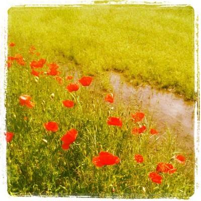 #spring #flowers #milan #italy #photography #poppy #poppies