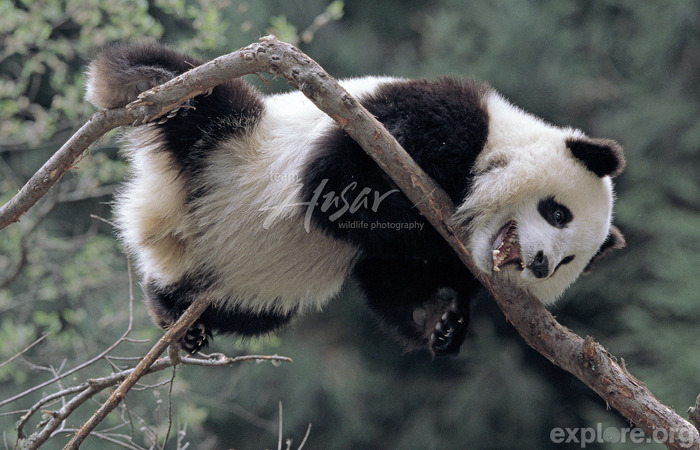 Too Cute Tuesday There are about 1,600 pandas left in the wild, which is actually a small increase since the 70s. Many organizations are working to save the pandas for future generations. Did You Know? Yes, pandas are good climbers, but they are also good swimmers! Read more facts here.  Explore more pandas.