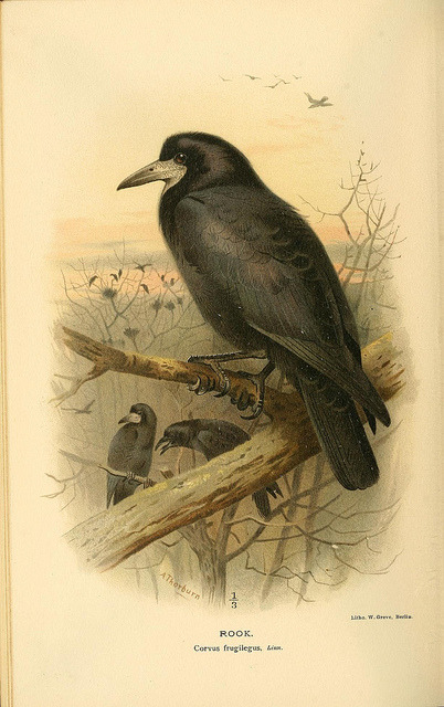 jomobimo:  Rook, Coloured Figures of the Birds of the British Islands / issued by Lord Lilford, 1885-1897