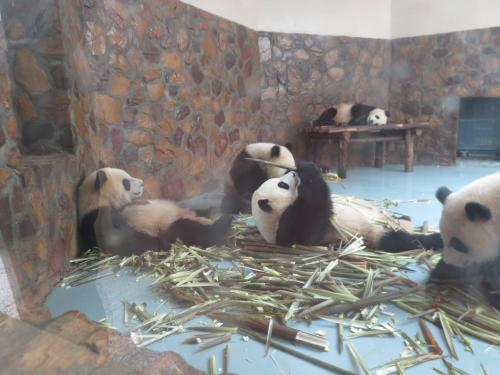 Drunk Pandas Are The Best Pandas. it's like The Hangover, but with pandas. it would probably make for a way better movie franchise.