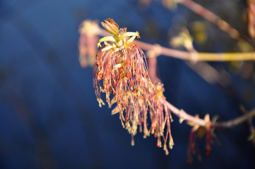 Frigidly blooming Box Elder by Tony Frates on Flickr.Via Flickr: Despite a temperature of about 45 degrees F when this was taken (which was at or near the high for the day), Acer negundo marched forward. April 9, 2013, Salt Lake County, Utah, approx. 4,335 ft. elev.