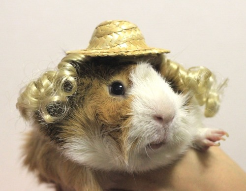 guineapigsinhats:  Do you like my new do? Just in time for spring!