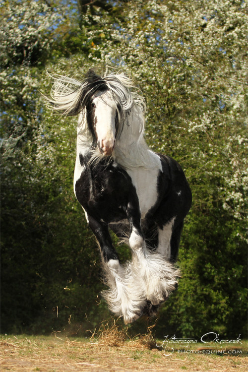 "(via 500px / Photo ""Gypsy Cob stallion"" by Katarzyna Okrzesik)"
