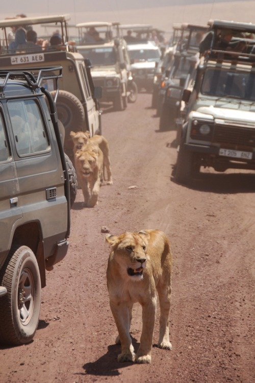 searchingforfoureight:     Photographer's Note: During a safari in the Ngorongoro crater, Tanzania, a group of 9 lions decided to cross the street and walk through the cars, making real chaos.