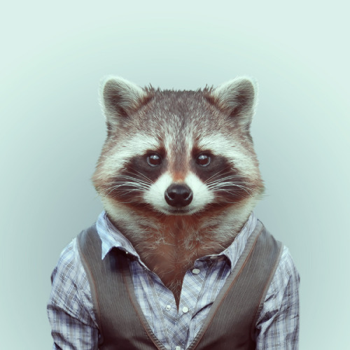 zooportraits:  RACCOON by Yago Partal for ZOO PORTRAITS  when i grow up i want to be this cool.