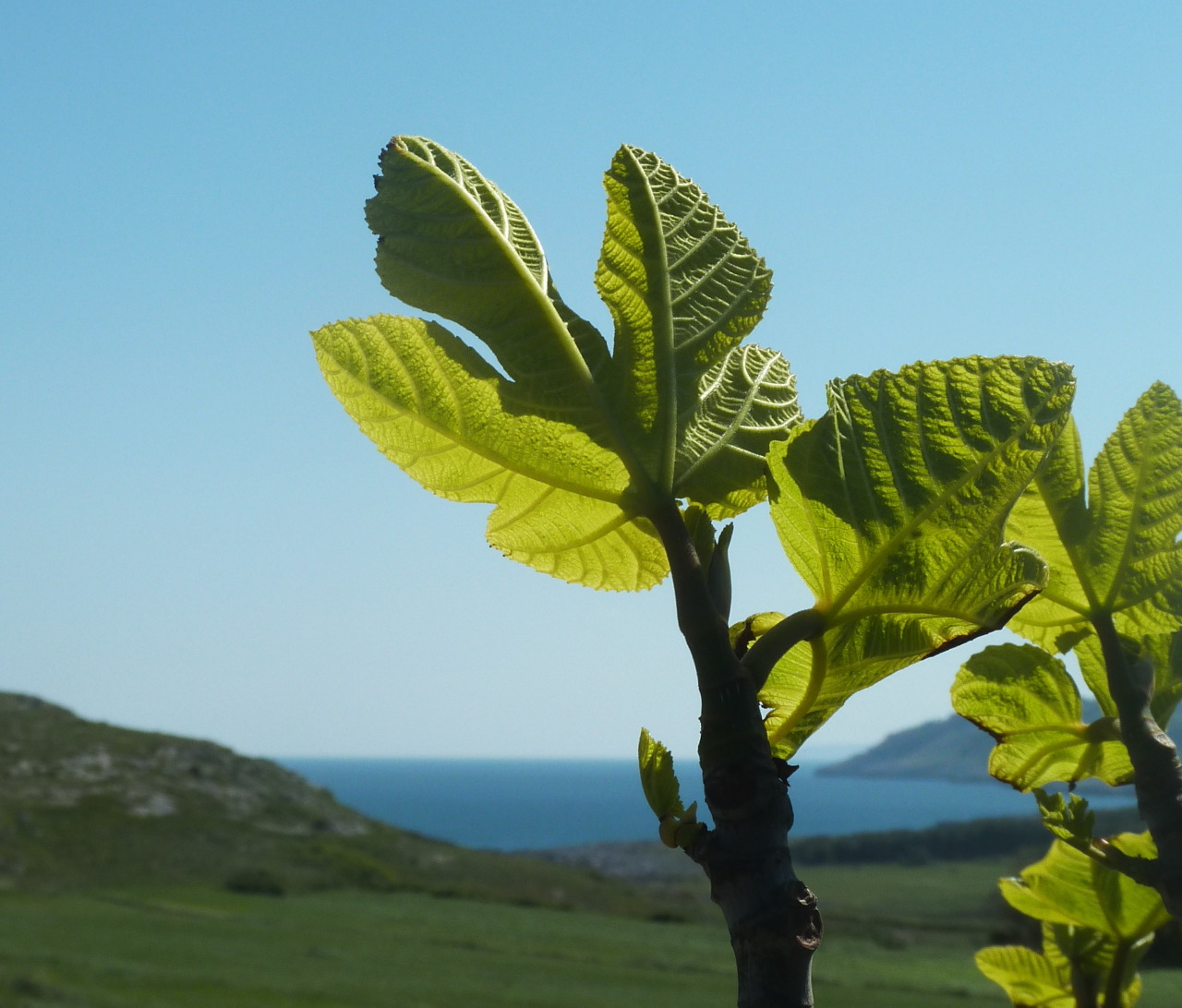 Young fig leaves … today near Otranto (Puglia, Italy)