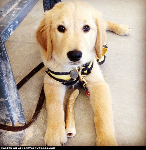 Guide dog in training, the oh so adorable Golden Retriever, Billy Via @kensielsears To see more cute dogs and puppies