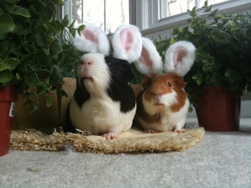 Day 28… the humans still suspect nothing. They really think we are Easter bunnies. This will make it much easier to steal the candy.