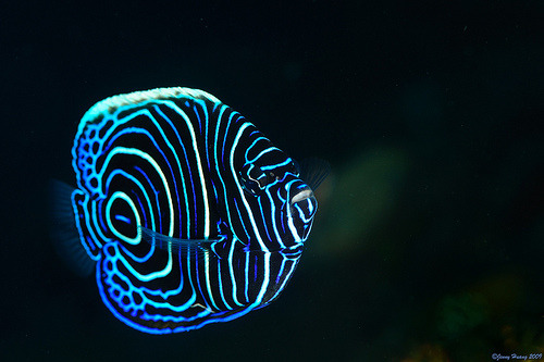 theanimalblog:  Juvenile Emperor Angelfish. Photo by Jenny Huang