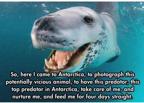 """unamusedsloth:  """"Vicious"""" Leopard seal tries to keep national geographic photographer alive by feeding him penguins."""