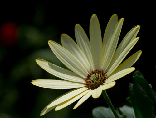 Lemon Osteospermum African Daisy Flower by Mukumbura on Flickr.