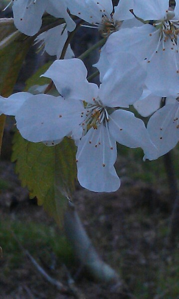 Walk by this beautiful tree in bloom on my walk tonight and thought of my beautiful girlfriend Megan :D