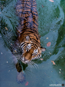 animals eyes water nature wildlife tiger tigers tiger in water