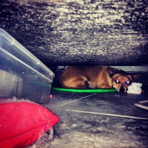 My cowardly mutt hiding under the bed because of a fly #coward #hiding #mutt