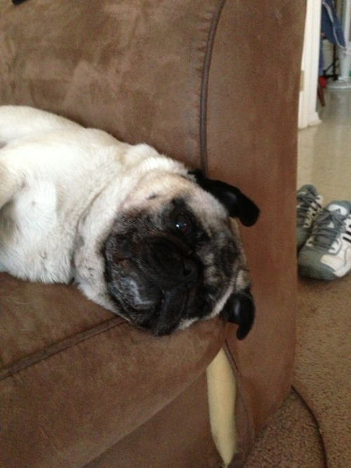 mypugpaisley:  Just lazing about as usual…