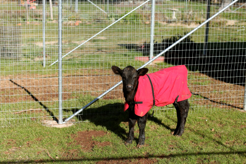 imagesforchange:  Stanley in his winter jacket. Animal Place, Grass Valley, CA. © Andrea White 2013  OMG his name is Stanley.