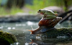 theanimalblog:  A frog hitches a lift on the back of a snail. Macro photographer Nordin Seruyan captured the unusual pairing by a pond in his garden in Central Borneo, Indonesia. He spotted the frog jumping onto the snail's back before it slowly slithered around the pond, with the frog still on his back.  Picture: Nordin Seruyan / Barcroft Media