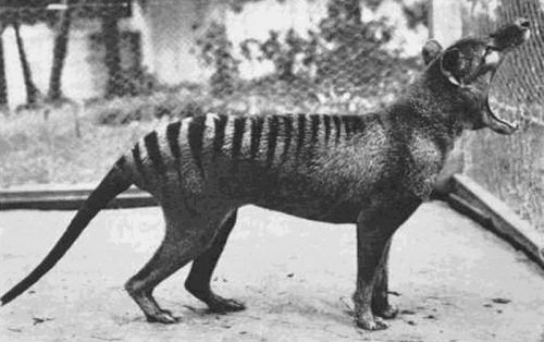 recklussly:  jackie-bay:  The last known Tasmanian Tiger photographed in 1933. The species is now extinct.  this is so cool like it even looks special.