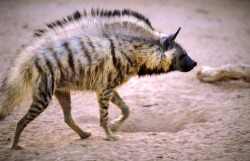 The striped hyena (Hyaena hyaena) is native to Northern/Eastern Africa, the Middle East, India and Asia extending north to the Caucasus and southern Siberia.  The males are heavier than females, and both can erect the hair on their manes to appear up to 38% bigger, often induced by a threat. Although solitary animals, they will form small family groups at the den. Older, immature offspring will assist in caring for and feeding younger siblings.  Striped hyenas are not too strict about territory, however during social encounters there is a display of dominance. Hyenas will sniff each others noses, and then genitals. Submission is shown with displays of the anal gland, often shown from immature young to adults, or even one adult to another. Fighting is a ritual of wrestling where one hyena attempts to grab the other's cheek, while attempting to avoid the other's grasp.  They mainly depend on scavenging food, mostly the carrion of medium to large mammals, including zebras, wildebeests, impalas and gazelles. Smaller animals like rabbits may also enter the diet- as well as fruits! If the carcass has been stripped of the meat, they may even go so far as to consume the bones! Foraging for these foods occurs at night, often with no pattern of travel except following the wind's scent of nearby food. Water is drank every night if possible, although they can live for extensive amounts of time without it. Striped hyenas are a near threatened species that easily coexist with humans. They even have some benefit to the tribes and civilizations they live with- they'll consume unwanted human refuse. They're also fairly well tempered- never attempting to attack humans or livestock. They'll even permit dogs to follow them around without defending themselves or showing aggression!  Photo by Eyal Bartov.