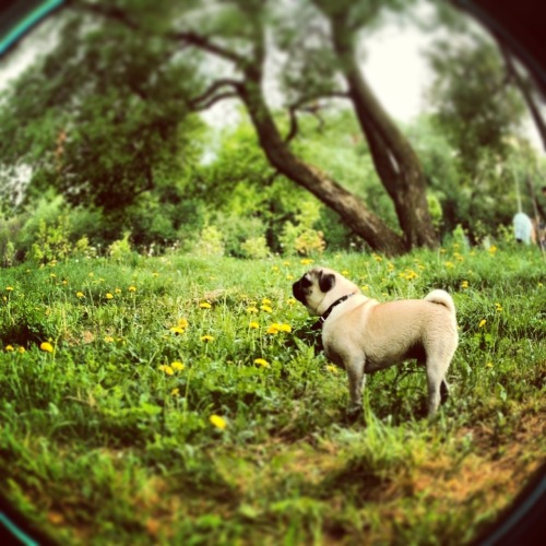My pug) Wilfred, I love u so much