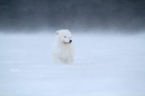 animals-animals-animals:  Arctic Fox (by Maximilian Janson)