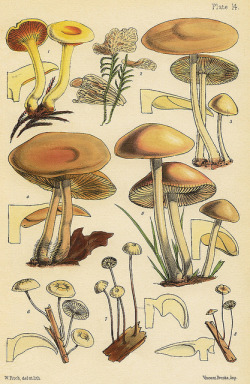 wapiti3:  Marasmius graminum, M. insititius, M. oreades and M. rotula (Berkeley) on Flickr.  The Families of Mushrooms and Toadstools Represented in the British Isles source-Delta Keys  mmmm, cross-sections