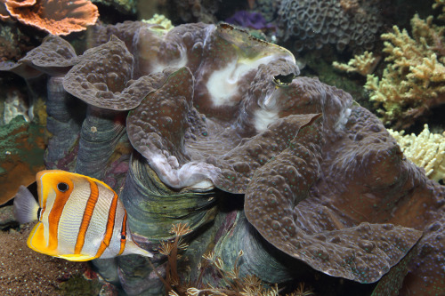 montereybayaquarium:  How big can the giant clam grow? Anyone know? You can see this one now in our Splash Zone!  I believe a trip to the aquarium is in order.