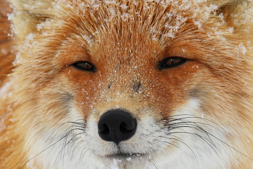 """Wise Fox"" Experienced fox Tolbachic met under the volcano on the Kamchatka Peninsula. by Alexander Pavlov"