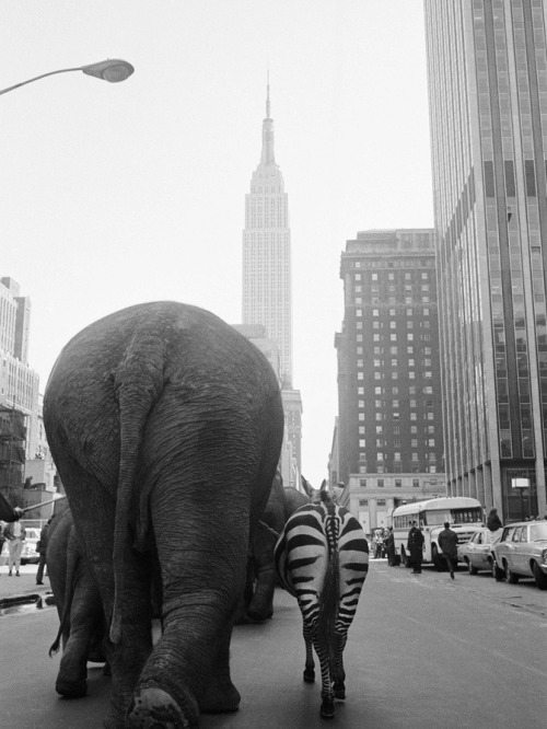 m3zzaluna:  circus animals on 33rd street a troupe of elephants and a zebra walk down 33rd street in manhattan, hearlding the arrival of ringling brothers and barnum & bailey circus, nyc, 1968. photo by otto bettmann.  This zoo we live in.