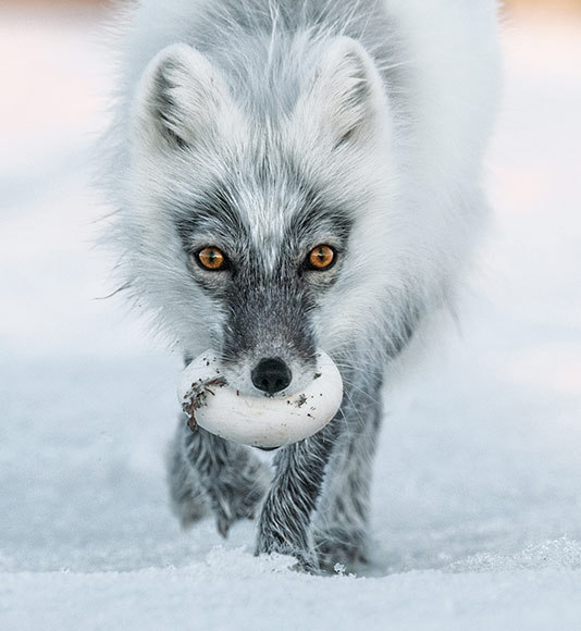 Photograph by Sergey Gorshkov, features in the current edition of the National Geographic magazine.   'The Artful Dodgers of Wrangel Island, arctic foxes steal as many as 40 snow goose eggs a day and cache them for their pups.'