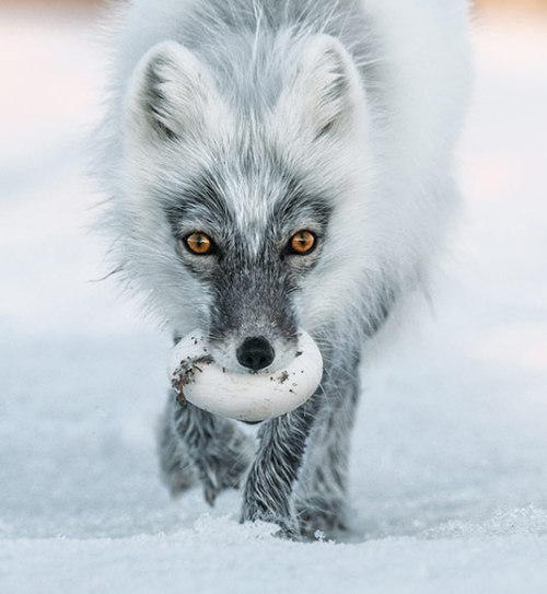 nationalgeographicdaily:  Photo: Sergey Gorshkov The Artful Dodgers of Wrangel Island, arctic foxes steal as many as 40 snow goose eggs a day and cache them for their pups.