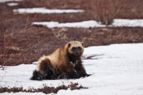 Climate Change Puts Snow-Strapped Wolverines on 'Threatened' List Mama wolverines need snow in which to build dens and rear their young, and what with mountain snow-pack melt in a warming climate, that commodity is disappearing—putting the fierce creatures in danger as no predator could. This has prompted the U.S. Fish and Wildlife Service (USFWS) to recommend their designation as threatened under the Endangered Species Act.