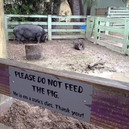"""Please don't feed the pig he's on a strict diet"" of what? Krispy Kreme & mt dew? (at Lowry Park Zoo)"