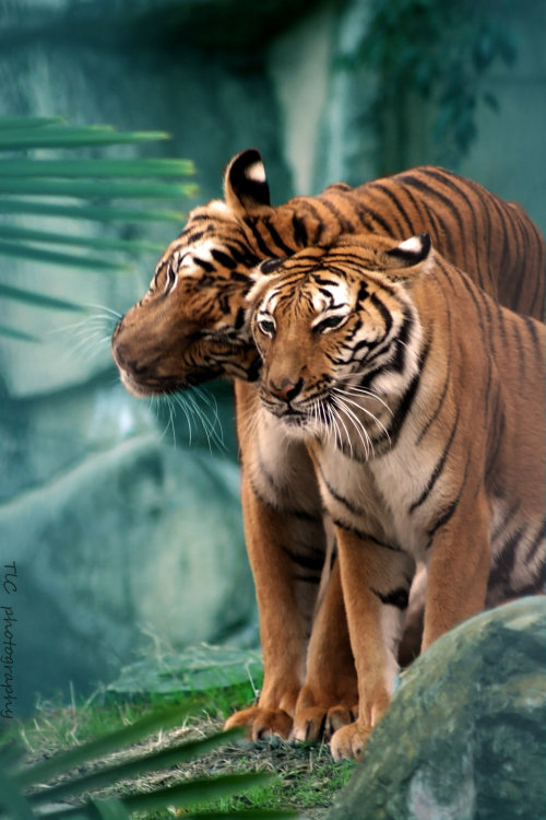 llbwwb:   For the tiger lovers:) Showing the love by ~TlCphotography730.