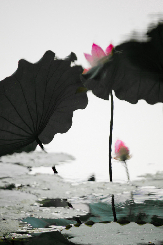 cornersoftheworld:  lotus (by shenxy)
