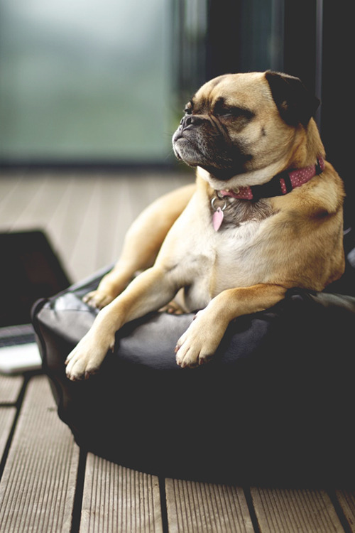 bejarj:  Pug is just chillin' ^^