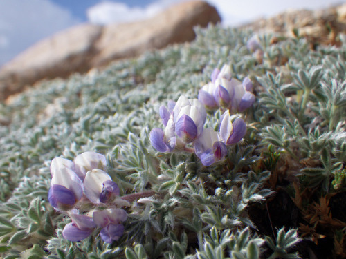Lupinus breweri bryoides by Matt Lavin on Flickr. Via Flickr: Matted lupine is especially common on the somewhat more stable talus slopes in this area.
