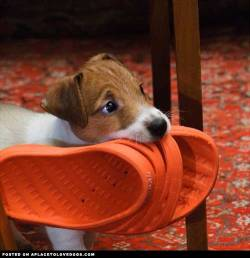 Sweet and adorable Jack Russell Terrier. Sure you can have your shoe back….. but you're gonna have to chase me first   @alexei_tm For more cute dogs and puppies