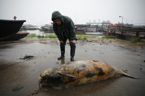 "Rare Chinese Porpoises Dive Toward Extinction. Above, A Carcass of a Rare Yangtze Finless Porpoise.  ""There are just 1,000 individual Yangtze finless porpoises left in the wild, according to a new report. That's less than half of what a similar survey of the porpoises found six years ago. The rapidly dwindling numbers have conservationists worried that the species could vanish from the wild as early as 2025. ""The species is moving fast toward its extinction,"" said Wang Ding, head of the expedition to count the porpoises and a professor at the Institute of Hydrobiology at the Chinese Academy of Sciences. Yangtze finless porpoises, the only freshwater finless porpoise in the world, live mainly in the Yangtze River and China's Dongting and Poyang lakes. They are threatened by shrinking food resources and man-made disturbances like shipping traffic. The expedition, which took place over 44 days last fall, comes after a similar trek along the Yangtze in 2007 failed to find any surviving Baiji dolphins, a close relative of the finless porpoise that was subsequently declared functionally extinct. The new report showed that some finless porpoises are splintering off into relatively isolated groups, which could hurt their ability to reproduce. The scientists also noted that more of the animals seemed to be flocking to wharf and port areas, perhaps to look for food.