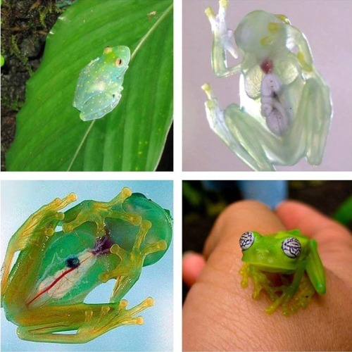 sifu-kisu:  Glass frogs, a group of South and Central American frogs with translucent skin. Their internal viscera, including the heart, liver, and gastrointestinal tract are all completely visible.
