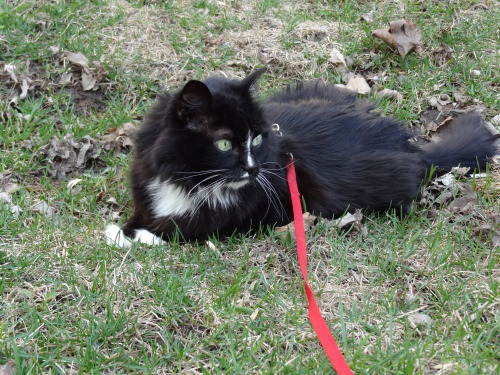"patheticallygreat:  I realized yesterday when I took my cat Sazzy for a walk that I have an easier time talking to animals than children. With my cat it's all Snow White esque and all ""Aww, what are you doing silly, are you eating the grass? Does that taste good? You shouldn't roll around in the dirt you know, you're going to get all dirty then you're just going to want to lick it off. Oh, did that noise scare you? Aw, you're okay baby!"" But then a child that was outside playing walked up to me and asked what I was doing and I just bluntly said, ""Walking my cat."" And tried to avoid all conversation with this kid. I mean, I greatly dislike children and this girl wasn't even that annoying on the spectrum of annoying children. I mean, it's a crazy lady walking a cat, of course the girl is going to be curious and yet I could not think of anything to say to her. I felt like a really awkward person even though I should be adult enough to be able to ask a few questions to the curious neighbor girl.  HOW TERRIBLE AM I??"