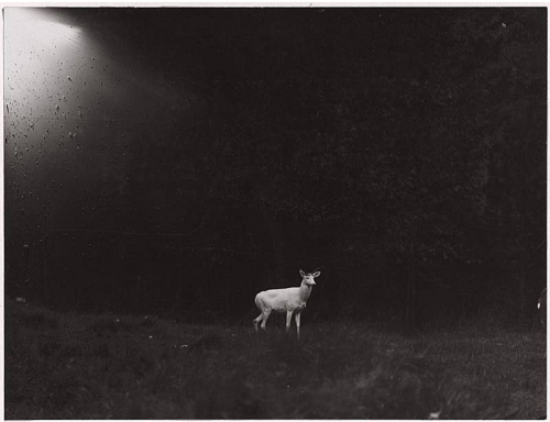 George Shiras III, Albino Deer on Grand Island, Michigan, 1930