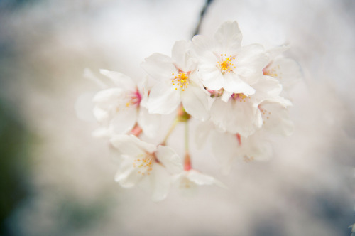 ileftmyheartintokyo:  Sakura by SILENCE Vincent on Flickr.