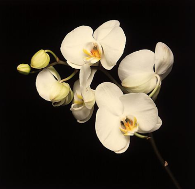"""orchids"" (1989) photographed by robert mapplethorpe"
