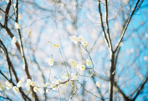serendipity-precious:  white plum blossoms by fumib on Flickr.